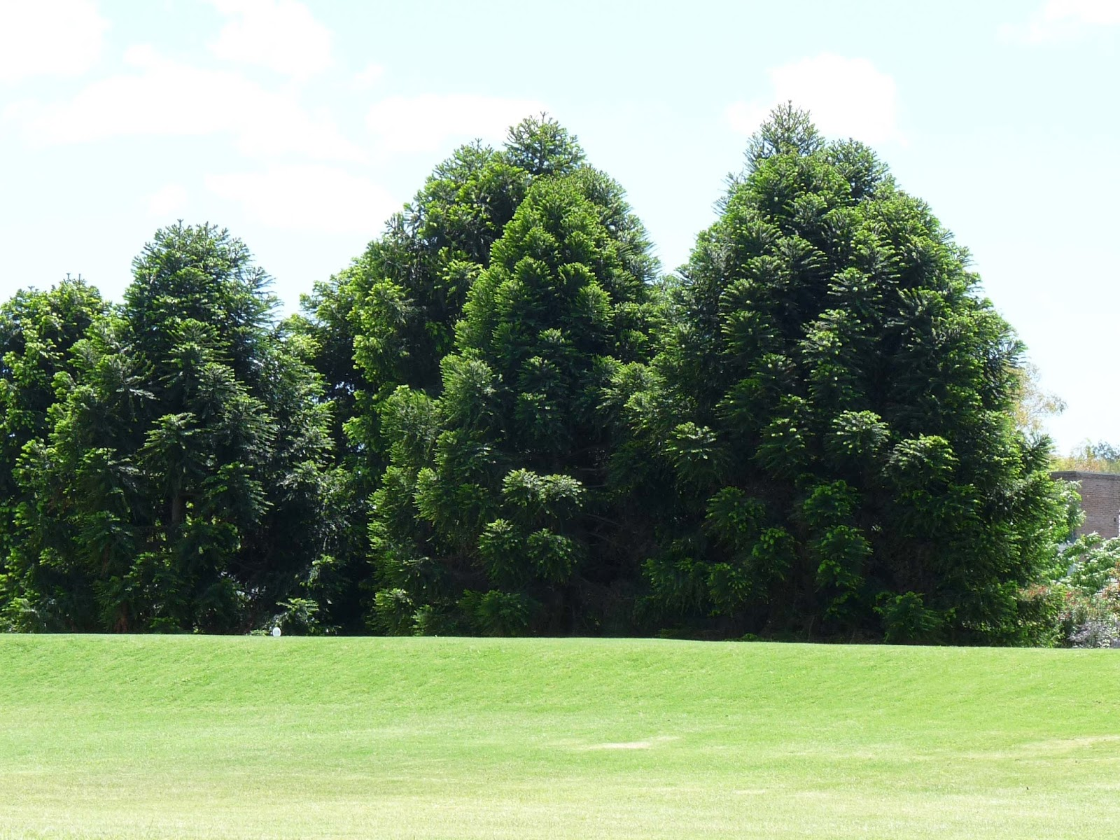 Comprar pinos para plantar affordable plantar rboles y for Precio abeto vivero