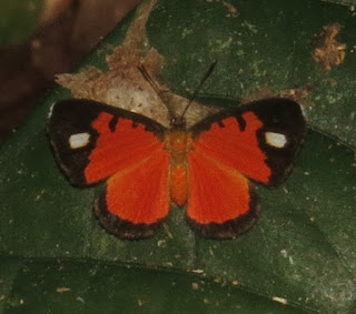 Mesene leucophrys
