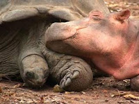 Hippo and Turtle