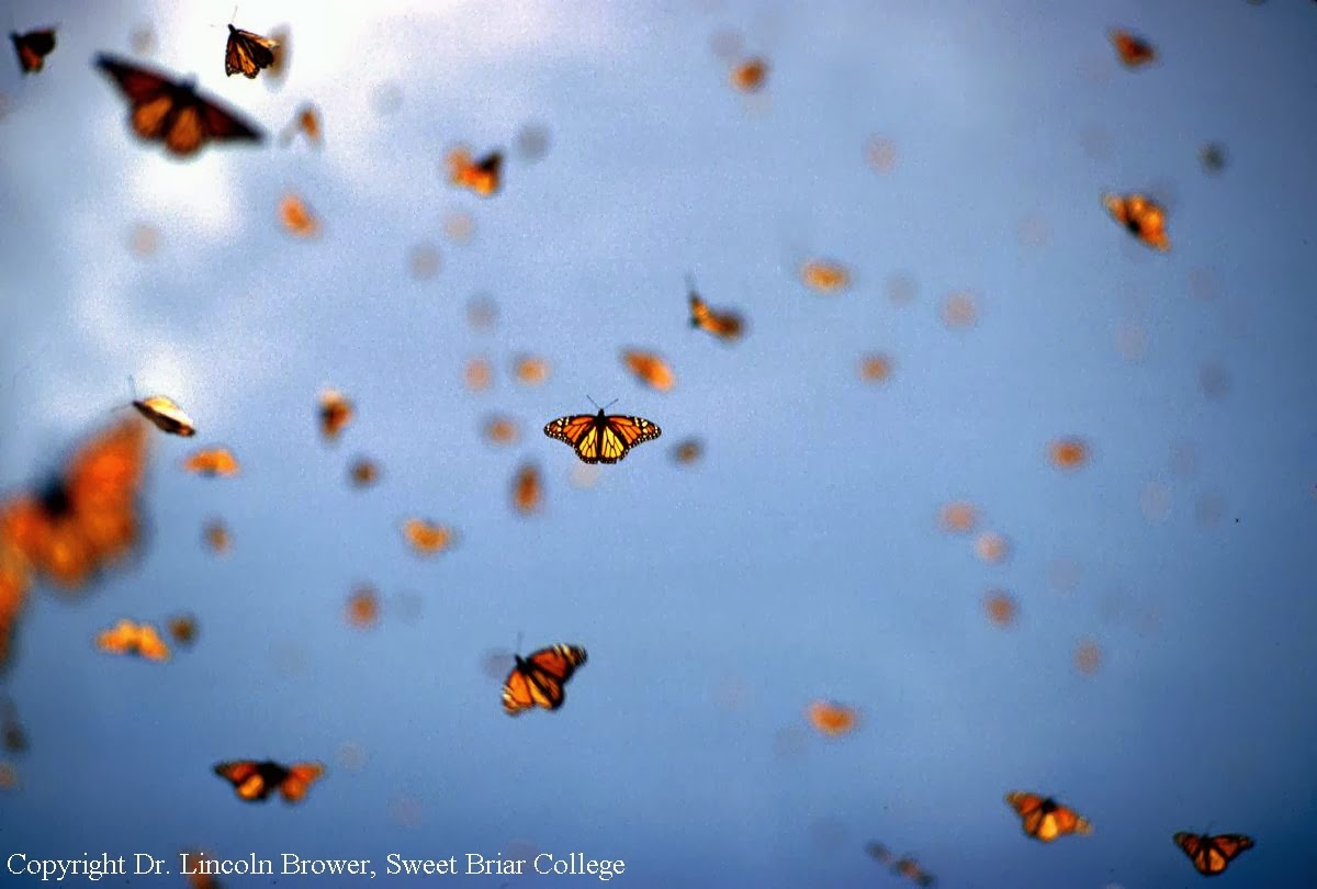 To Scape The Serpent's Tongue: Monarch Butterflies