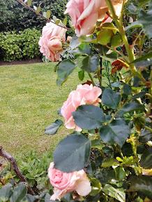 Mijn rozen 2013