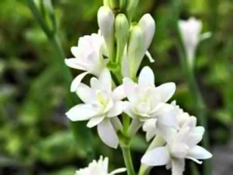 Khasiat Bunga Sedap Malam untuk Kesehatan