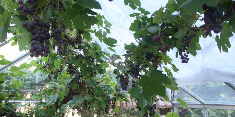 Vindruer i drivhuset