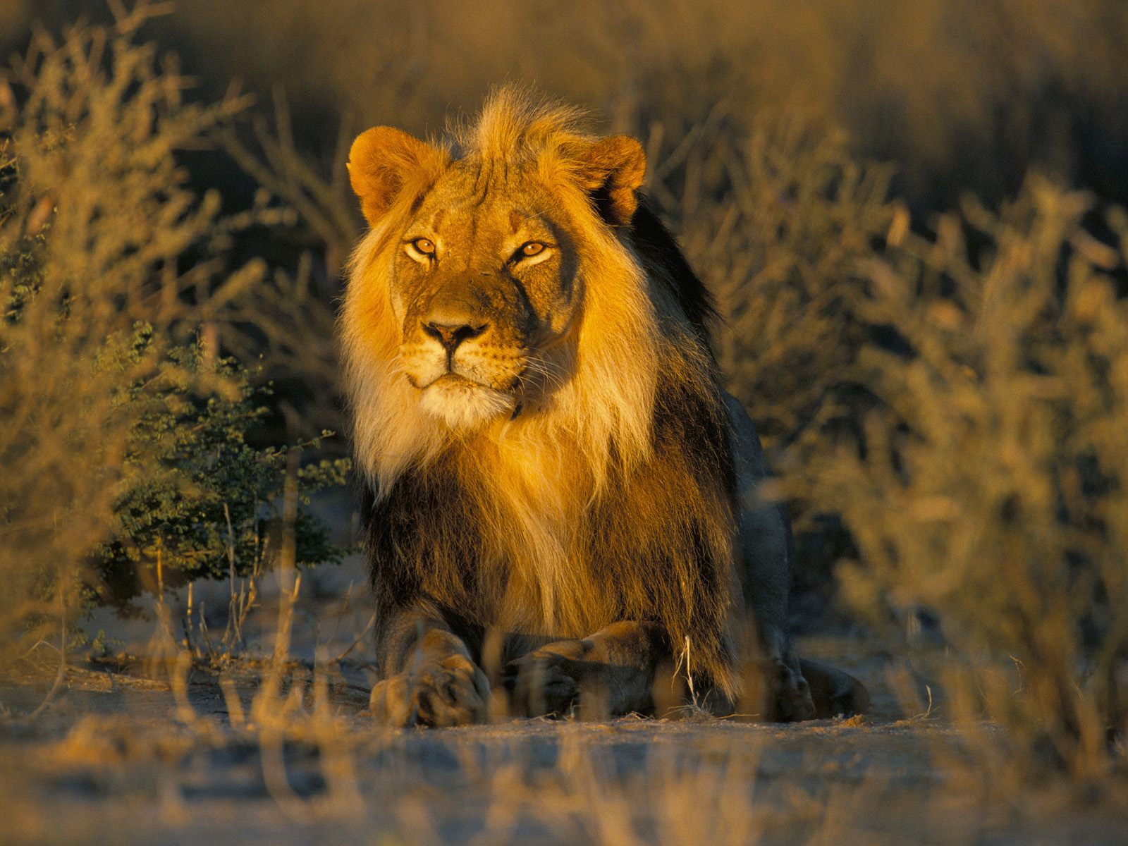 The African Lion | King Of All Animals | Wildlife Of World