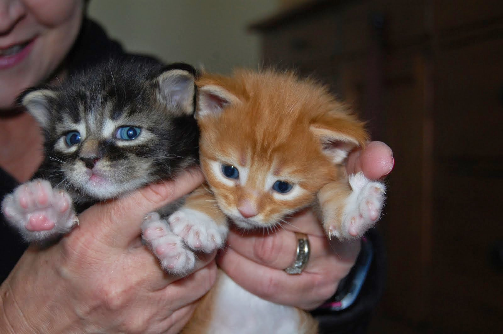 One of these maine coon kittens will soon by mine