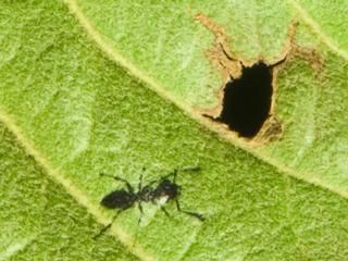 蟻(アリ)を印刷した枇杷の葉の写真