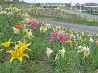 広大な敷地50,000㎡に約30万球のゆりを植栽し、約50種類のゆりの花を鑑賞することができる。