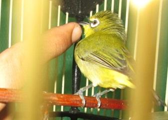 Tips Agar Burung Pleci Cepat Jinak Cara Menjinakkan Burung Pleci