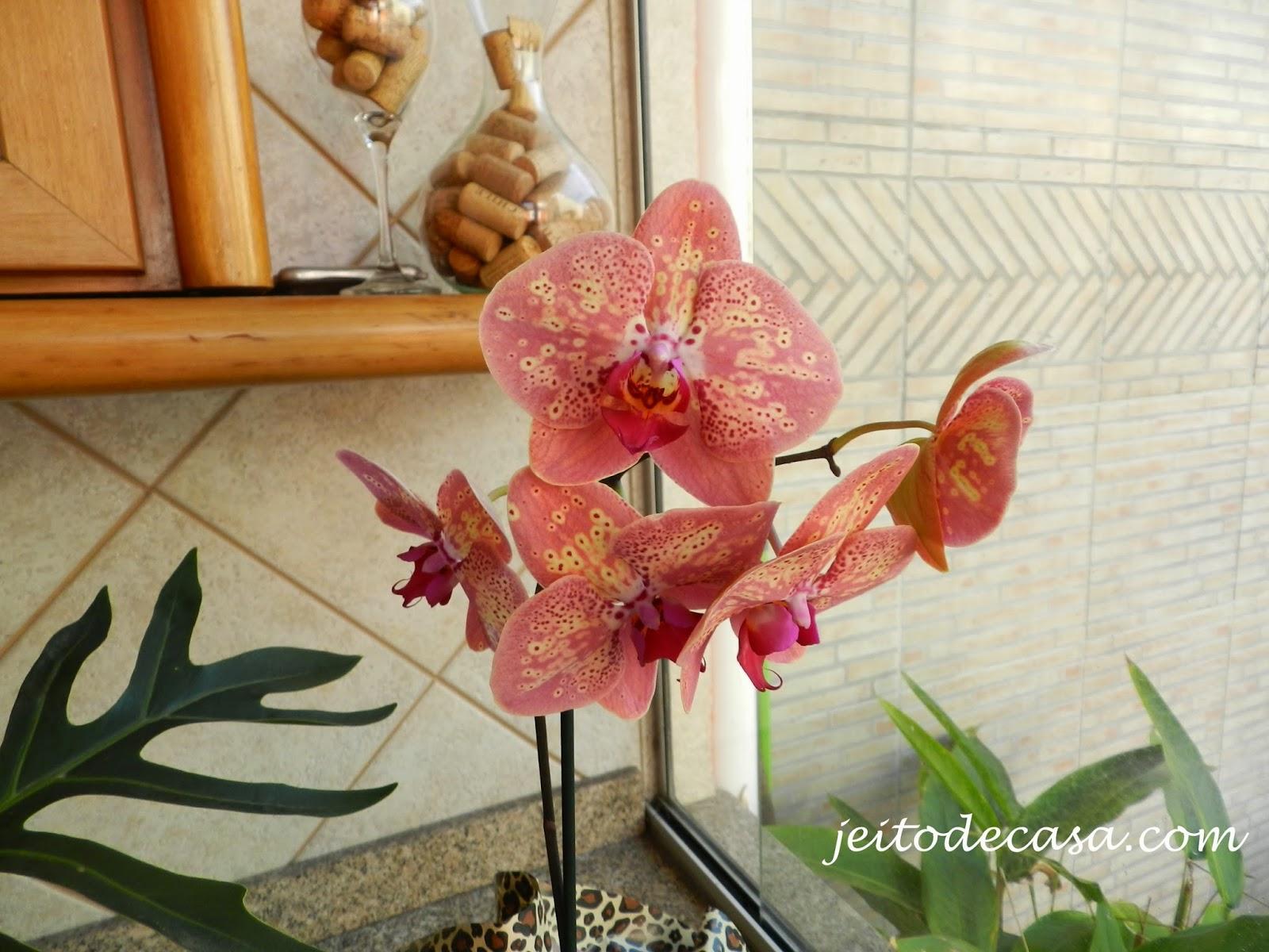 phalaenopsis rajada ou pintada