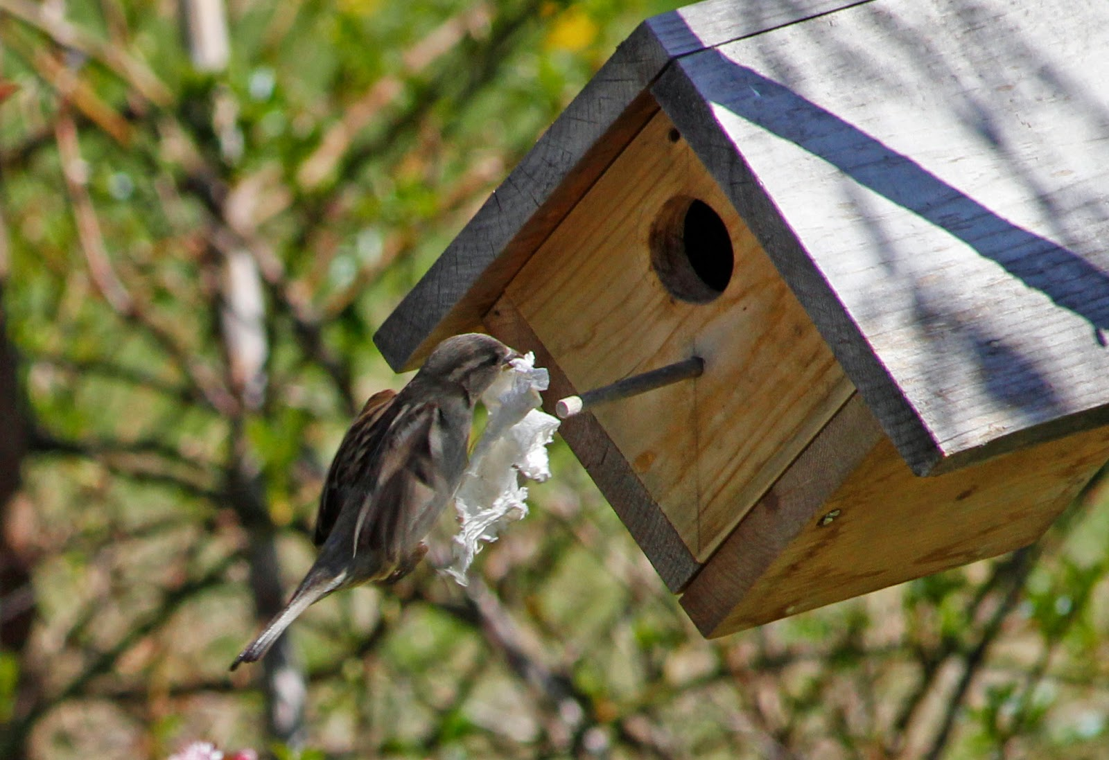 female house sparrow brings tissue back