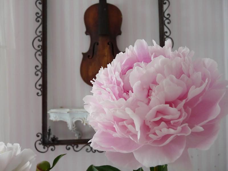 heavens ros cottage die sch nste rose der welt. Black Bedroom Furniture Sets. Home Design Ideas