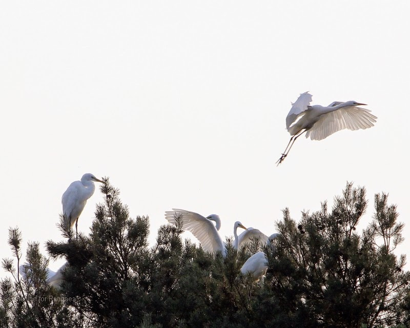 Great Egrets on a resting tree