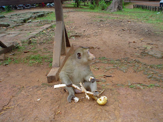 Mono eating at Angkor Temples - Cambodia