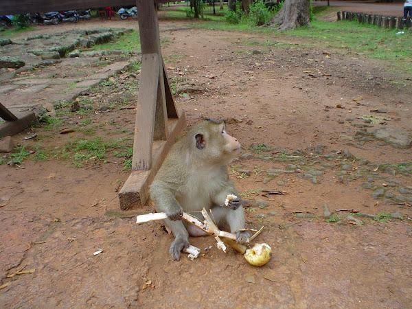 Mono comiendo en Templos de Angkor - Camboya