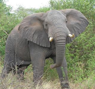 Hewan Aneh Gajah Berhidung Panjang