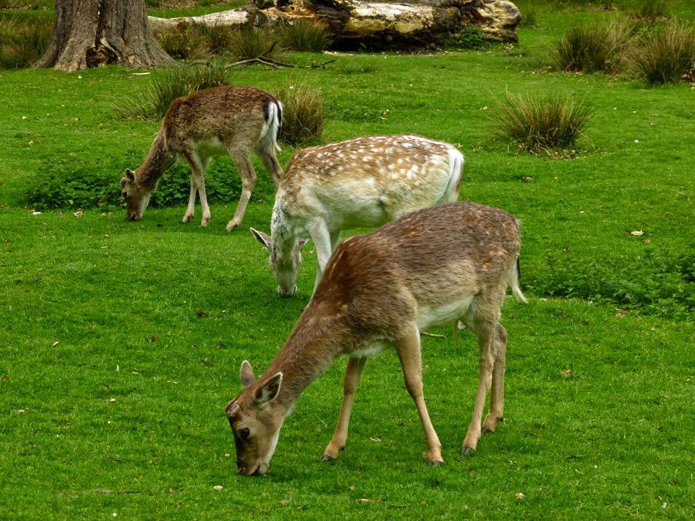 Fallow deer, Dunham Massey, Altrincham