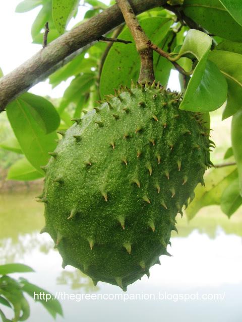 Khasiat Terbaik Buah Durian Belanda