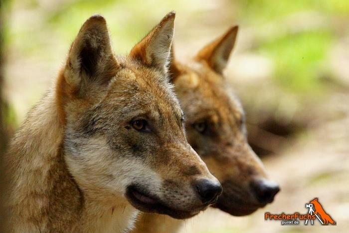 Niedersachsen: Dilettantisches Wolfsmanagement durch Jäger