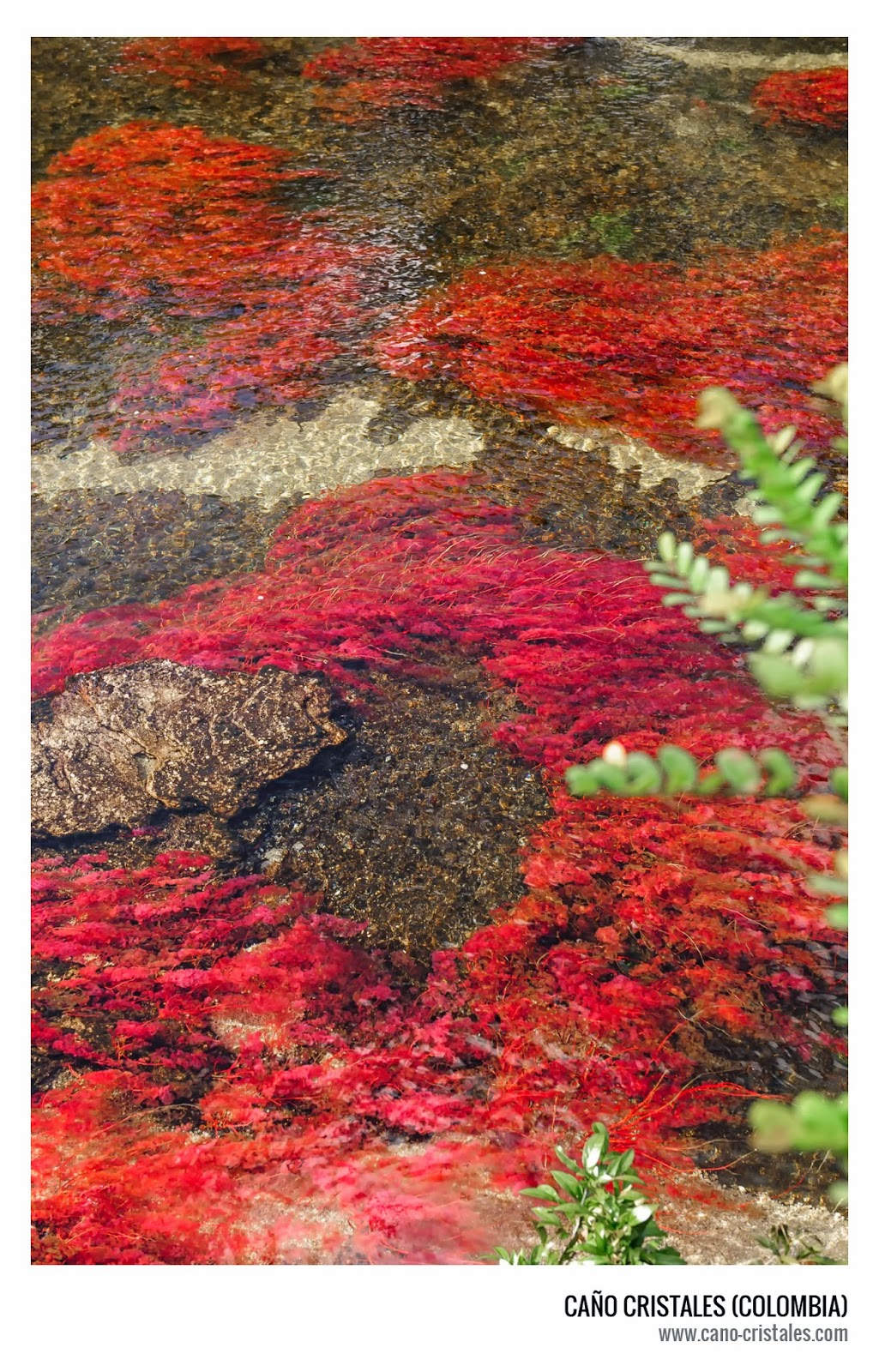 Macarenia clavigera, planta endémica en Caño Cristales