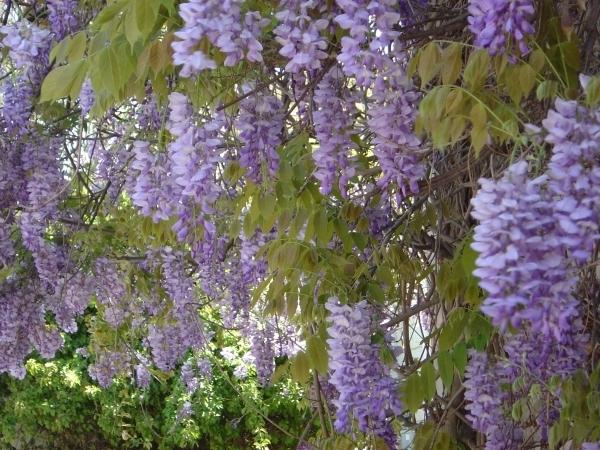 Carpe diem haiku kai carpe diem imagination 5 wisteria - Plantas trepadoras para muros ...