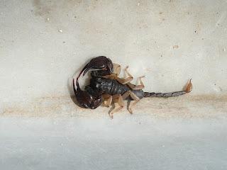 Scorpione italiano, Euscorpius italicus