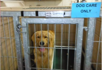 "The golden is standing in a kennel looking at the camera with the same happy expression. There is a teal blue sign on the top right that reads ""dog care only."""