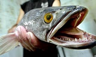 Ikan Paling Menyeramkan Dari Indonesia Kalahkan Piranha [ www.BlogApaAja.com ]