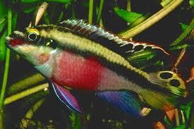 d marrer un aquarium et choix des poissons d 39 eau chaude photos de la famille des ciclid s. Black Bedroom Furniture Sets. Home Design Ideas