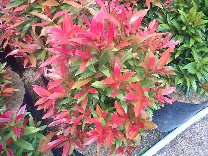 Jual pucuk merah (oleina syzygium) | suplier tanaman | tanaman hias | jasa pembuatan taman