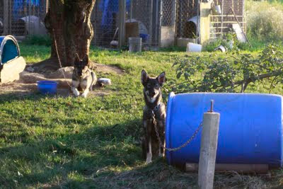 Miles tethered out at his own dog house with his buddy yeti in the