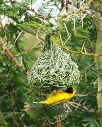cara merawat burung manyar, cara mastering burung manyar burung manyar gacor ngeplong
