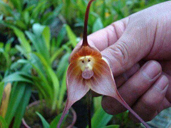 orquidea cara de mono3 - Monkey face flower:)