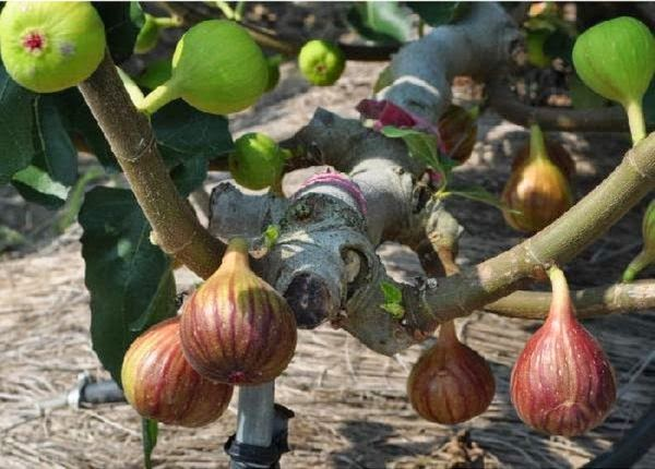 Cultivating The Fig Fruit