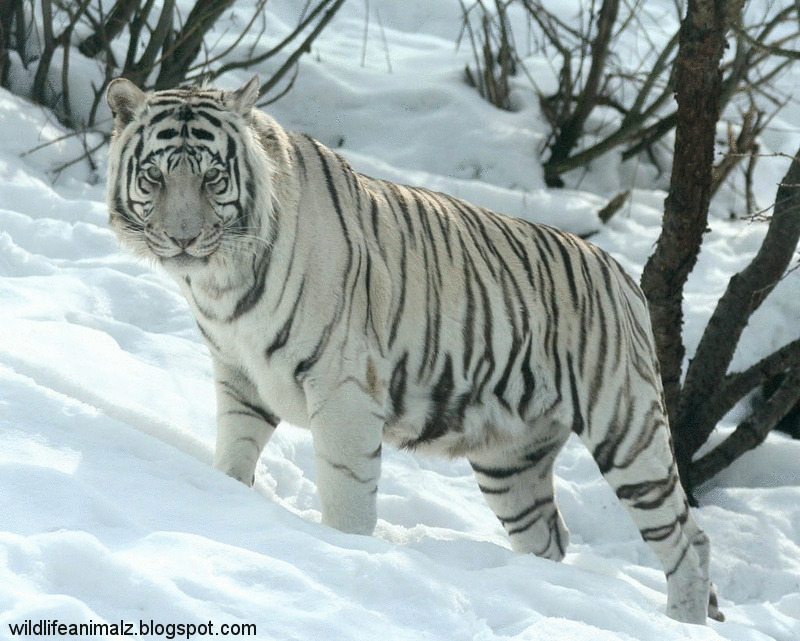 The White Tiger Amazing Facts & Images | The Wildlife