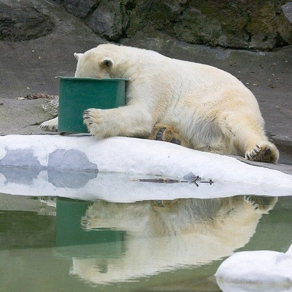 polar bear and bucket, funny animal pictures of the week