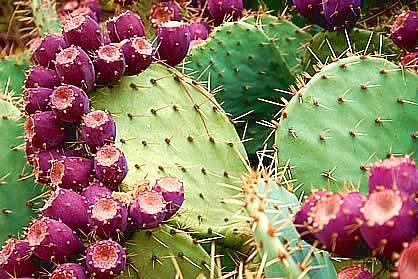 http://3.bp.blogspot.com/-nc8bQcKX2Sk/T3lME-29lNI/AAAAAAAAAAw/ZnOvRlEO9_I/s1600/Nopal-cactus+%252813%2529.jpg