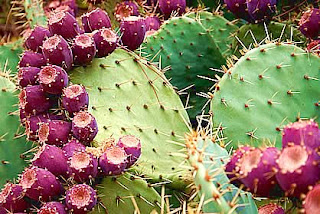 Nopal cactus benefits can be used to relieve dysentery and its extract helps reduce hangover.