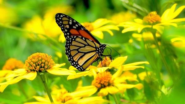 Beautiful Butterfly Yellow Flowers