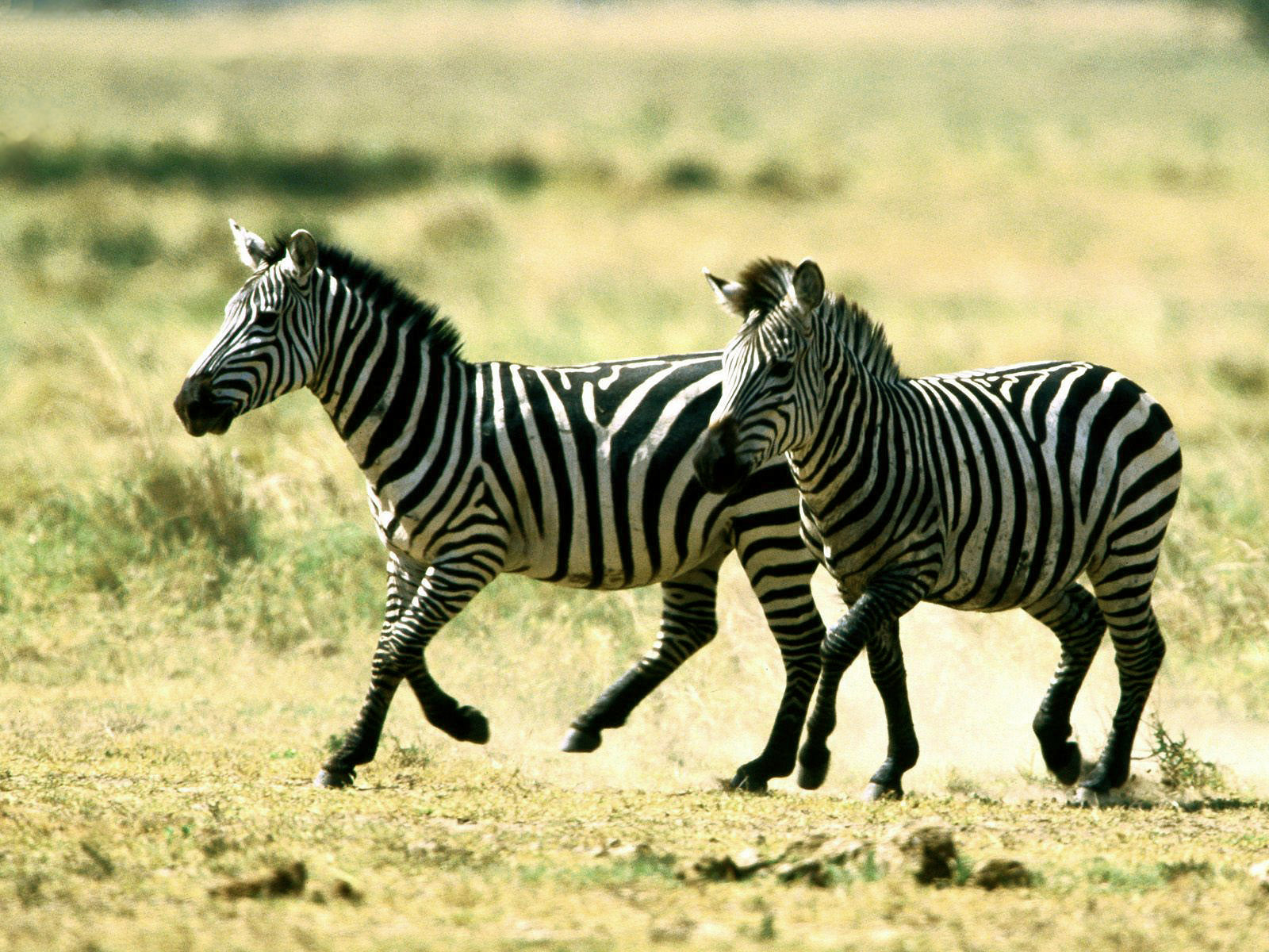 Top 20 most cute and dashing zebra wallpapers in hd for Zebra wallpaper