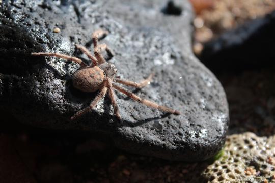 Mauritius big tropical spider