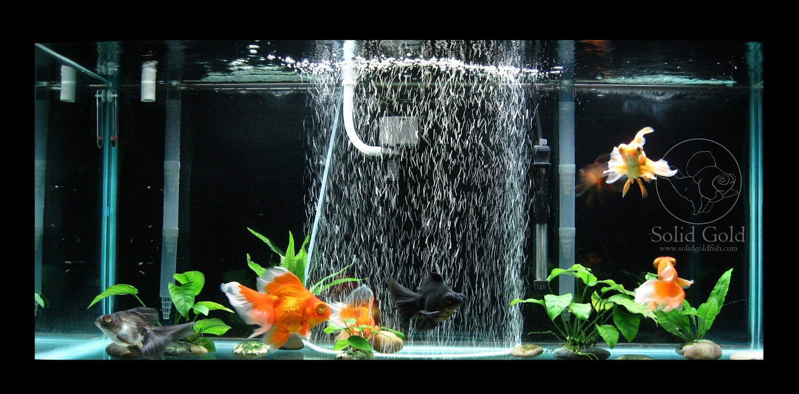 Fish in tank with goldfish - My 75 Gallon Tank Looking Cramped With 6 Fully Grown Fancy Goldfish