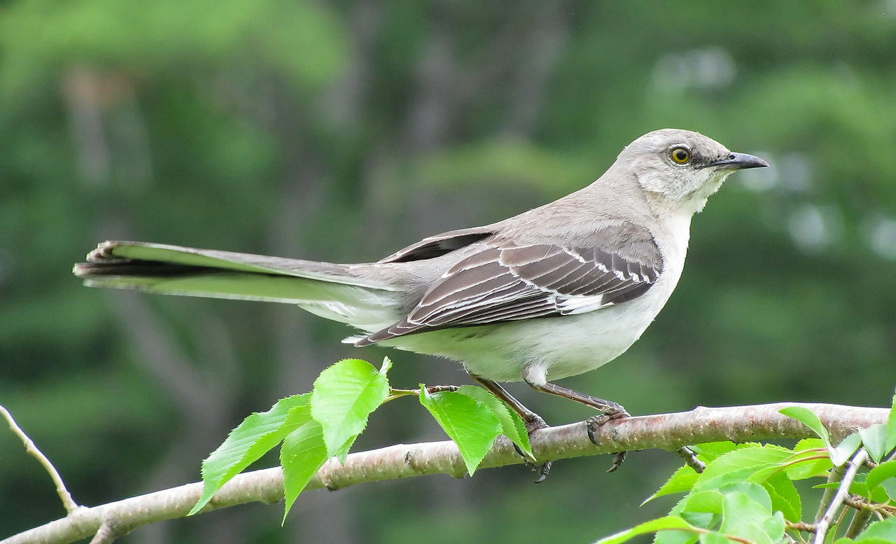 Amazing Facts About Northern Mockingbird