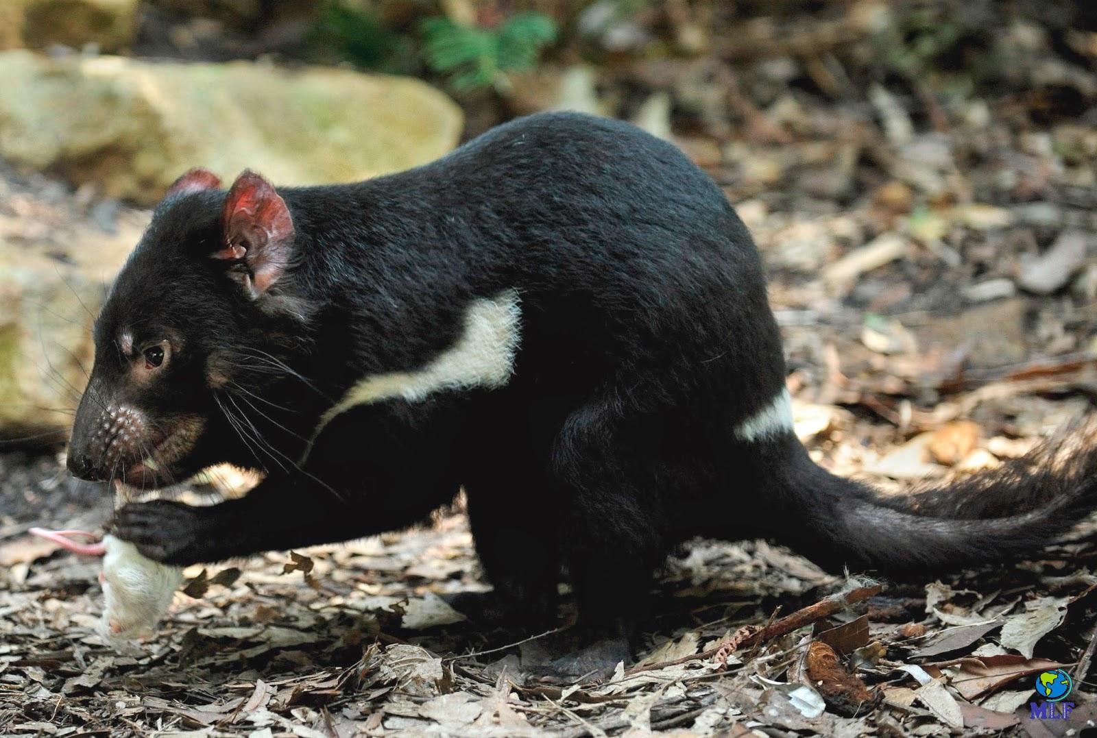 1creative: Demônio da Tasmânia - Taz