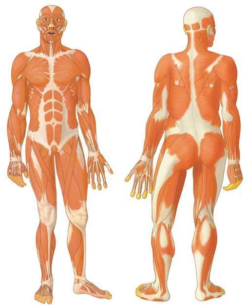 Musculos del cuerpo humano sin nombres para imprimir  Imagui