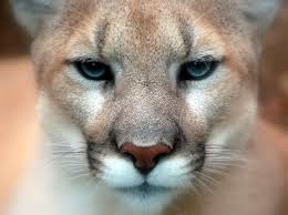 Head shot of cougar