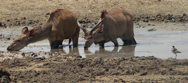 Tanni das Kudu (Kurzgeschichte vom Wasserloch)
