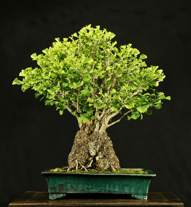 the ginkgo pages forum blog beautiful ginkgo bonsai. Black Bedroom Furniture Sets. Home Design Ideas