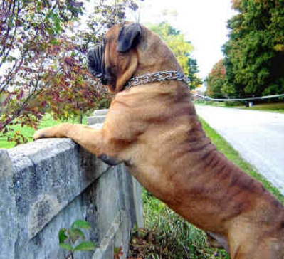 Giant Dog Channel: Bullmastiff Picture