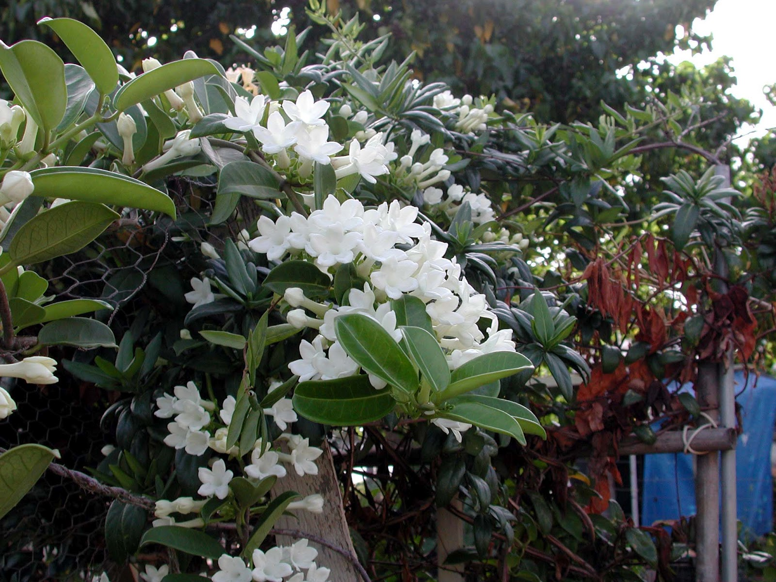 Stephanotis by any other name is marsdenia hawaii horticulture stephanotis do best when grown on some sort of support and the flowers are held up for izmirmasajfo