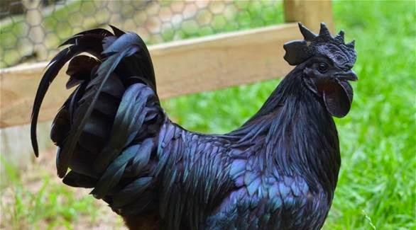 """بالصور: """"دجاج لامبورغيني"""" للبيع بـ 2500 دولار"""